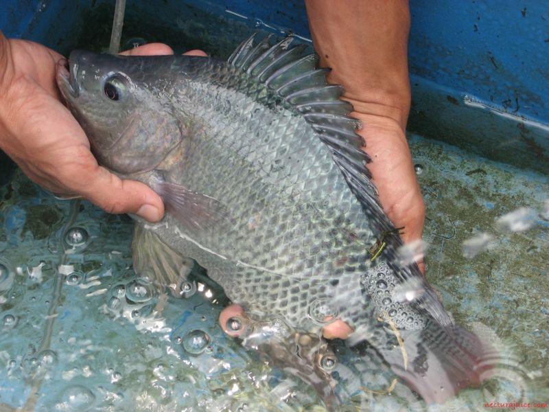Gambar, Foto Klasifikasi Morfologi Ikan Nila Dan Asal Muasalnya Juga Ciri Cirinya