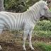 Hewan Albino Unik Dengan Kelainan Kulit Berwarna, Hewan Unik Lain Dari Biasa