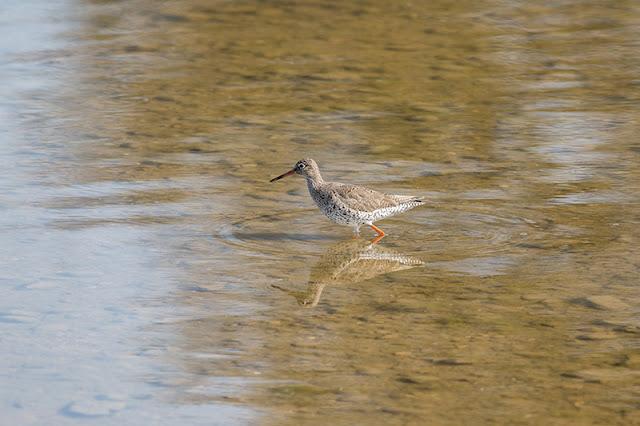 Wading Redshank