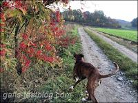 Boxer Amy geht spazieren