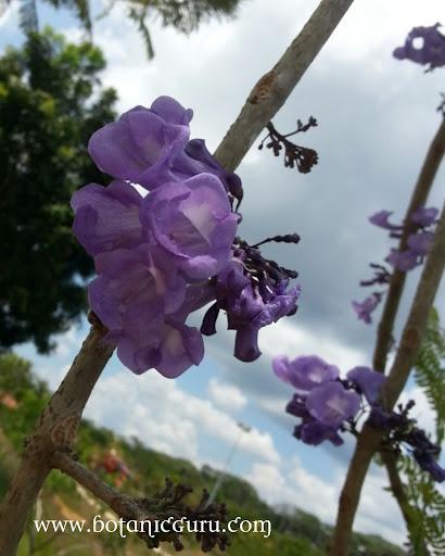Jacaranda obtusifolia, Jacaranda flowers