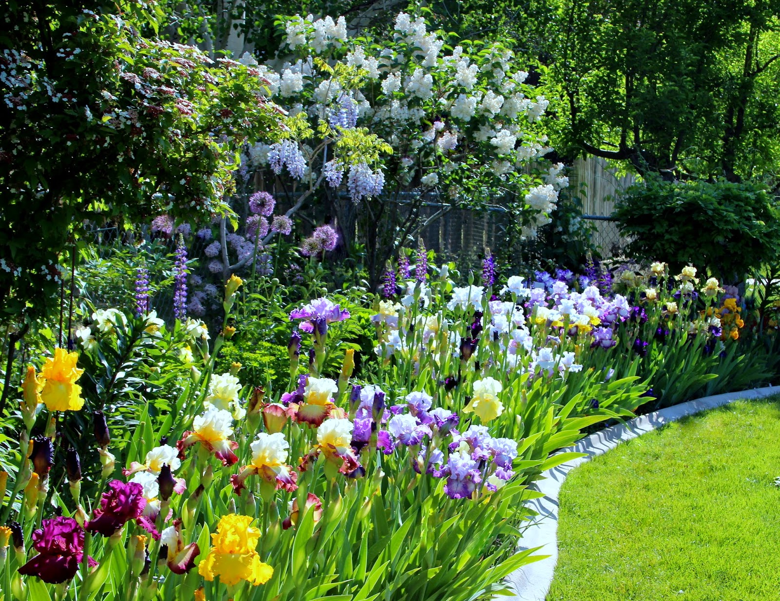 World of irises talking irises tall bearded irises revamping talking irises tall bearded irises revamping an existing bed for maximum impact izmirmasajfo