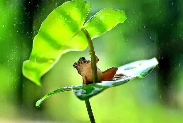 ضفدع يحتمي بورقة ليتجنب المطر في بورنيو في اندونيسيا