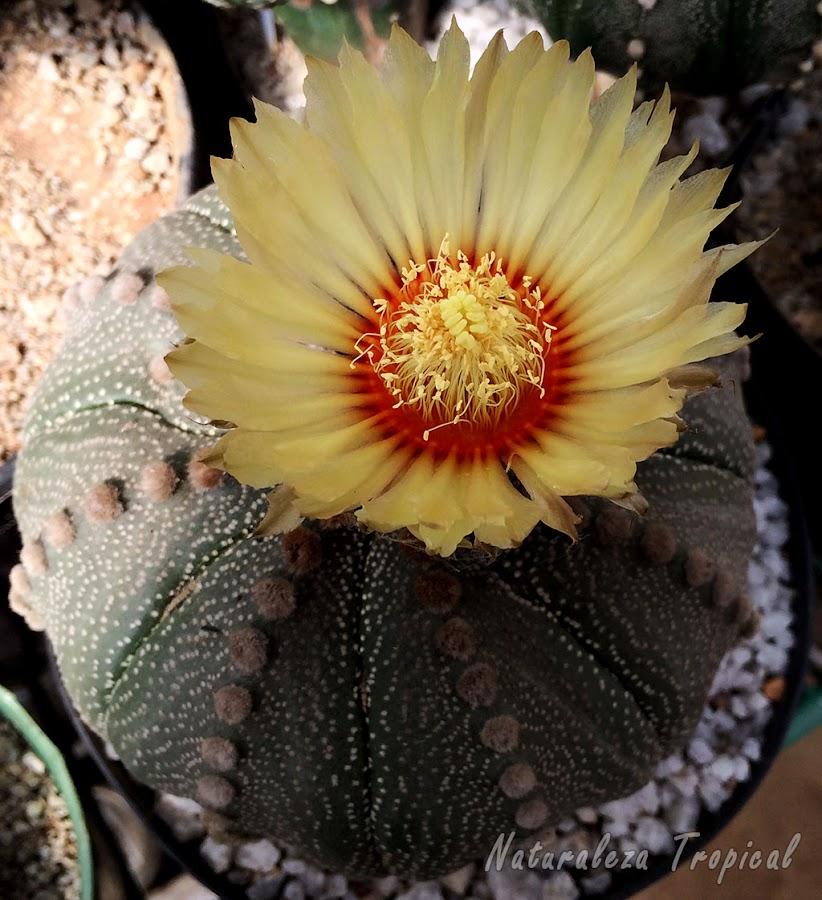 Cactus globoso del género Astrophytum en plena floración
