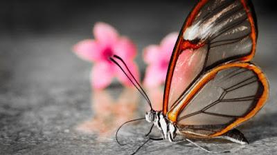 As borboletas se destacam por suas cores variadas e chamativas, e também pela combinação de formas que a natureza cria em suas asas. Normalmente é assim, mas não no caso da Greta oto. Essa  é uma rara espécie de borboleta, que se destaca justamente pela ausência de cor em grande parte de suas asas.