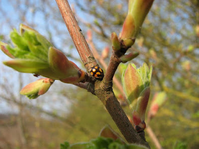 harlequin-ladybird-orange-black