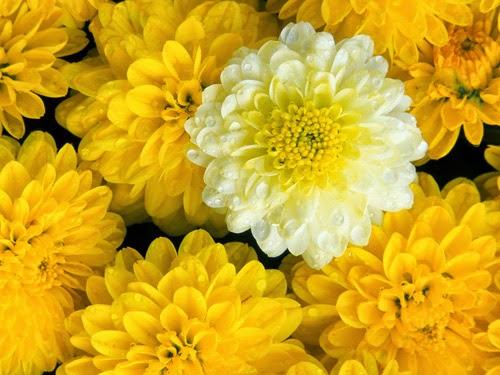 Cây phong thủy Hoa Cúc