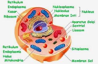 Organel Sel Hewan: Fungsi, Struktur, Pengertian, Gambar