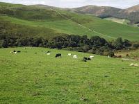 Cows Northumberland