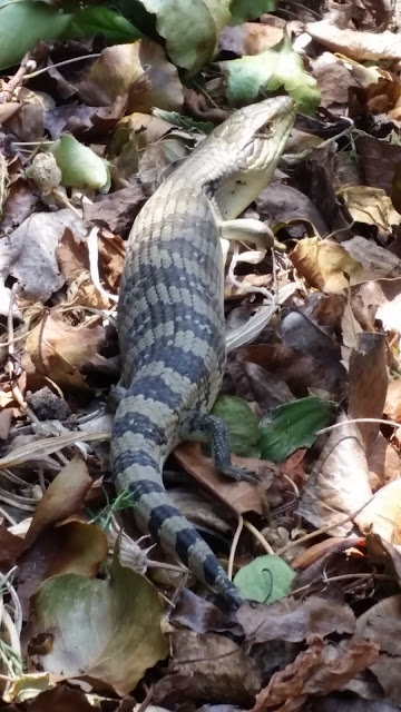 A blue tongue lizard - genus Tiliqua - resting on a bed of dried fallen leaves. It's light-brown head is at the top of the photo, a striped body in the middle with a tapered tail towards the bottom of the photo.