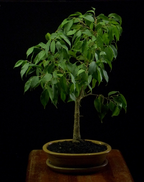fikus bonsai