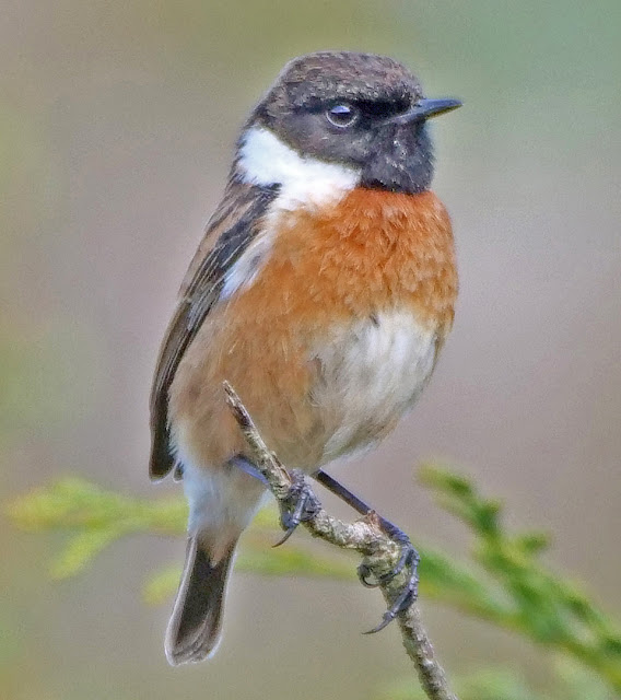 Stonechats at Longridge Fell