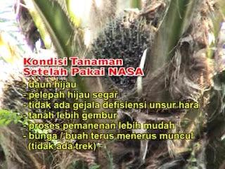 KESAKSIAN TANAMAN KELAPA SAWIT BUAH NAGA Nasa Sumatera