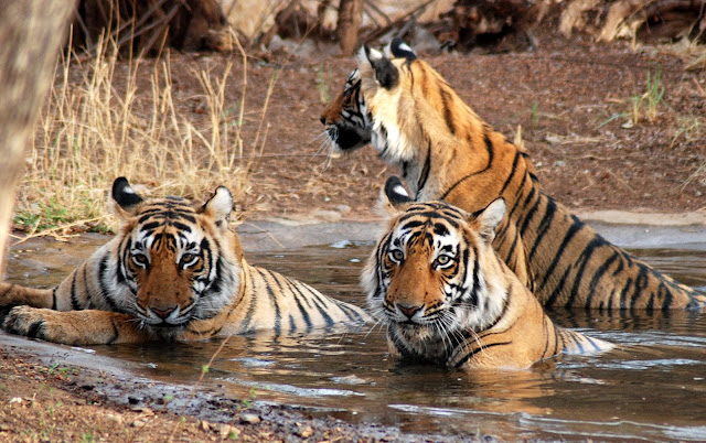 Royal Bengal Tigers, Corbett National Park