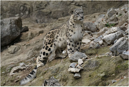 Snow Leopards - Feb 2021