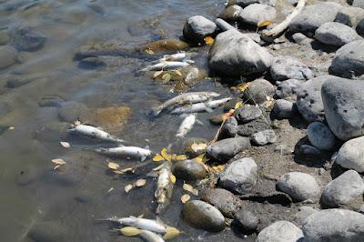 peces muertos a orillas del rio Yellowstone