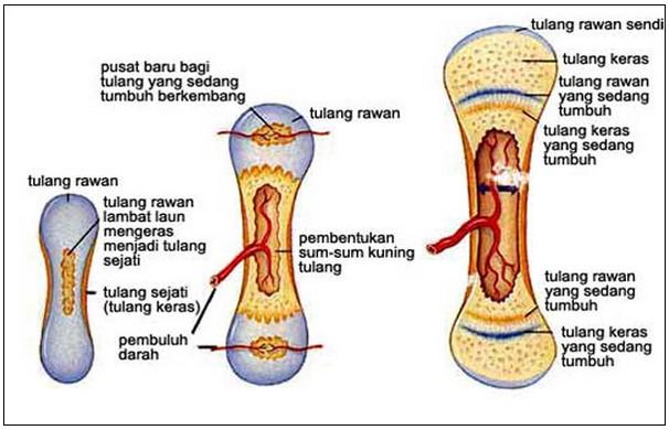 Gambar Proses Pembentukan Tulang