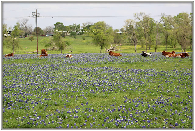 Texas Bluebonnets-Wildflower -field-cow pasture-From My Front Porch To Yours