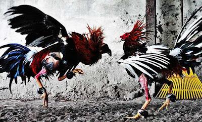 Olahraga Adu Ayam