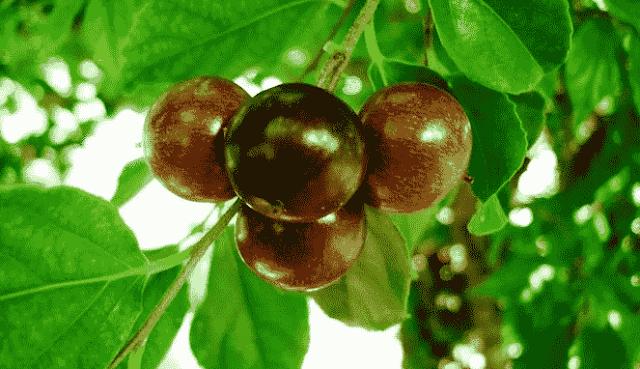 manfaat buah rukem