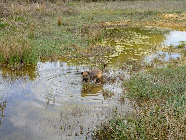 border terrier in water