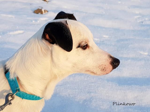 Nasz jack russell terrier