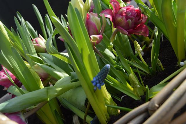 Ideer til flerfarget blomstring i vårkrukker - Tulipaner og perleblomster i krukke