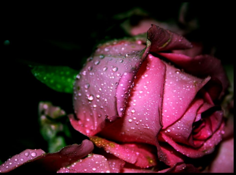 Pink Rose Flowers Wallpapers Free Download For Mobiles Wallpapers