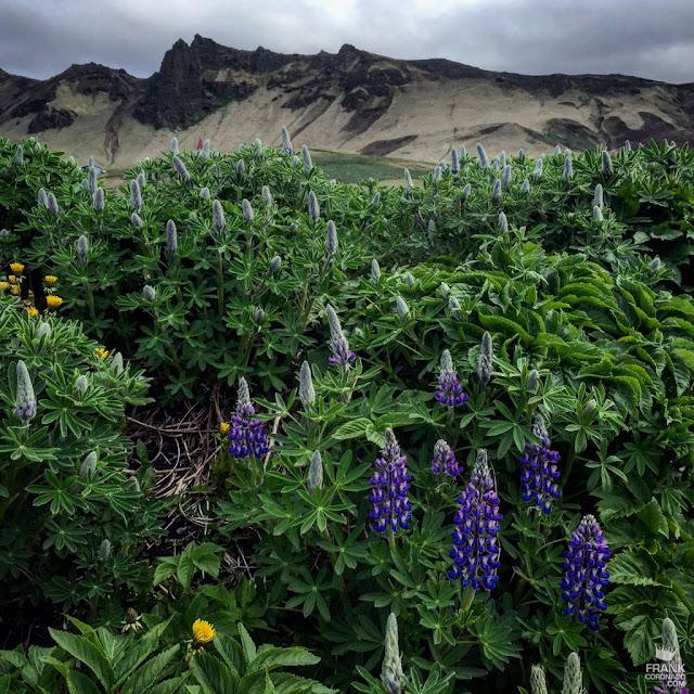 flores retoñando en Vík í Mýrdal Islandia