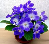 как ухаживать за фиалками,почему не цветут фиалки,как поливать фиалки,Узамбарские сенполии,комнатные фиалки
