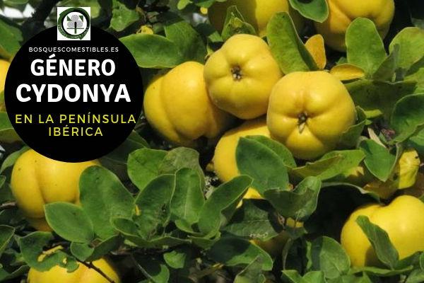 Lista de Especies del Género Cydonya, Membrillo, Familia Rosaceae en la Península Ibérica