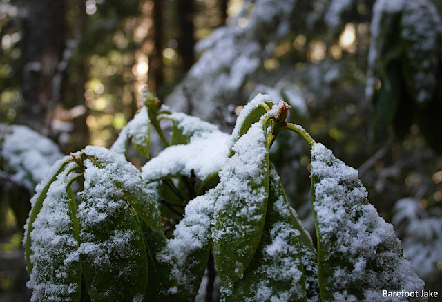 snow rhododendron