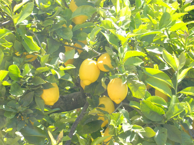 Lemon Tree Almada Portugal