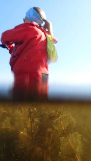 Puoliksi veden alta ja puoliksi päältä otettu kuva - veden alla näkyy vesikasvillisuutta ja päällä pelastautumispukuun pukeutunut henkilö