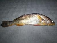 Foto de uma pescada amarela