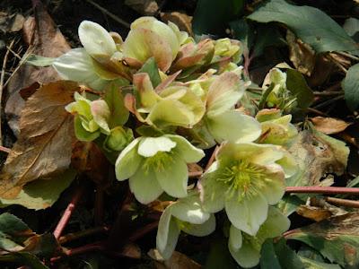 Lenten Rose Helleborus orientalis at Toronto Botanical Garden by garden muses-not another Toronto gardening blog