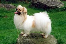 white Tibetan Spaniel Dog in standing position