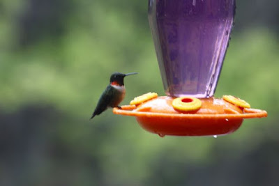 Ruby-Throated hummingbird, male