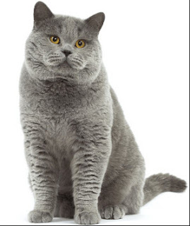 Cara Mudah Menghilangkan Kutu Kucing Ternyata 100% Berhasil Luar Biasa