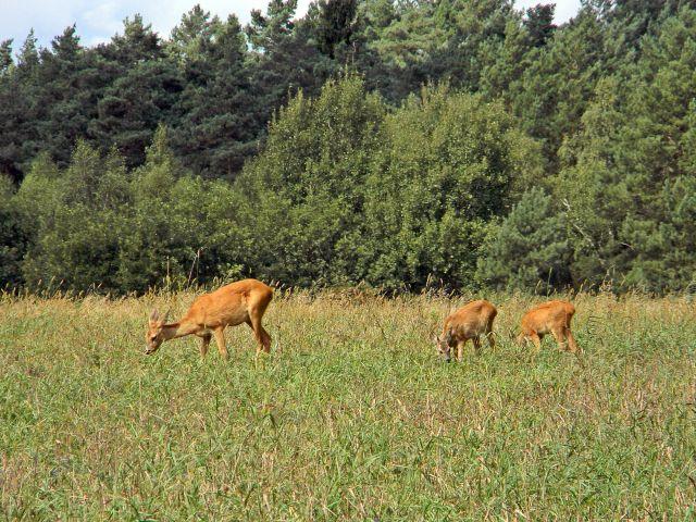 zwierzęta kopytne, sarny, las, łąka