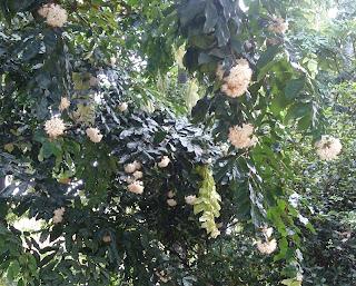 Tanaman saputangan ialah tumbuhan pohon yang biasanya sering kita jumpai berasa disekitar Manfaat Tanaman Saputangan (Maniltoa Grandiflora Scheff)