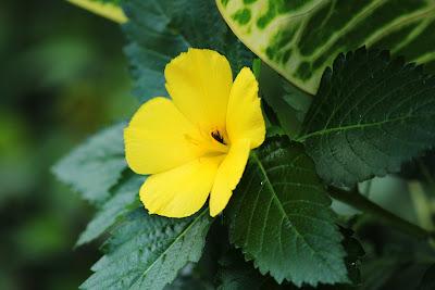 herbal, Manfaat Tanaman Herbal, damiana, daun damiana, daun miana,  manfaat daun damiana, kandungan daun daminia,