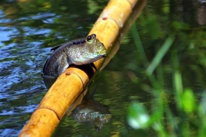 Hewan air ini dapat memanjat pohon