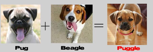 pug + beagle