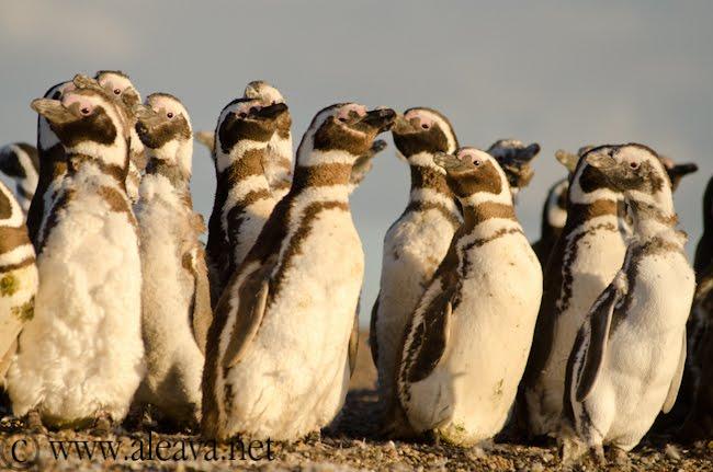 pingüinos en el cambio de plumaje en Peninsula Valdes