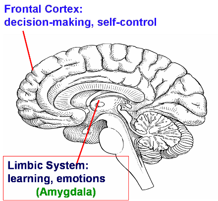 relationship between limbic system and prefrontal cortex in adolescence