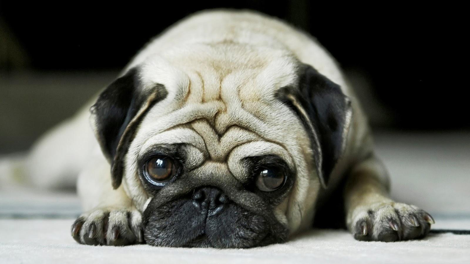imágenes de perros pug