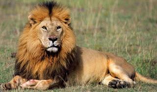 भारत  का शेर