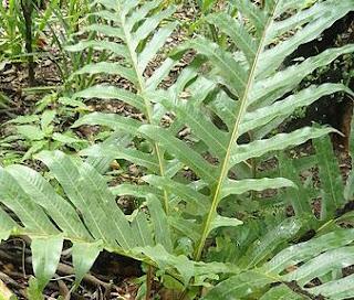 daun-kepala-tupai,www.healthnote25.com