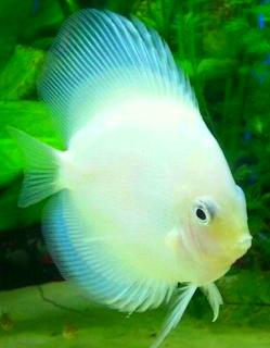 Jenis ikan Platinum Albino dan cara budidaya